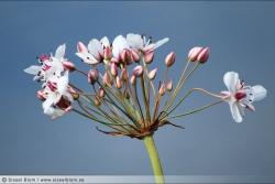Blomma från Tåkern