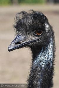Stenkyrka - Emu