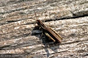Gräshoppa på Stora Karlsö